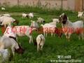 泰州养羊牧草种子多年生黑麦草种子哪里有卖的图片