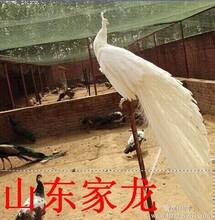 白孔雀养殖基地白孔雀价格图片