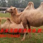 山东骆驼养殖骆驼出售家里骆驼养殖场图片