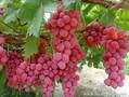 红提葡萄价格,陕西红提葡萄价格,红提葡萄批发行情。图片