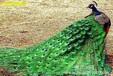 蓝孔雀养殖