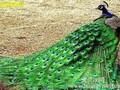 蓝孔雀养殖图片