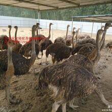 鸵鸟养殖场鸵鸟利益鸵鸟价格鸵鸟可以驯化孔雀等品种图片