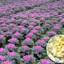特菜种子保健蔬菜种子套餐羽衣甘兰种子图片