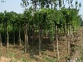 最靠谱的北方常绿大乔木供应商推荐青州北方常绿大乔木图片