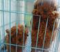 玉溪卖泰迪玉溪买泰迪玉溪狗场常年出售纯种泰迪玉溪出售泰迪价格多少