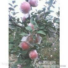 陕西红富士苹果批发欢迎购销