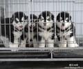 成都哪里有卖阿拉斯加犬成都出售阿拉斯加多少钱成都哪里出售阿拉斯加质量有保障