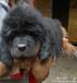 西藏哪里有卖藏獒西藏出售纯种藏獒幼犬