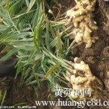 山东生姜产地价格图片