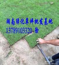 广东马尼拉草皮规格-广东草坪量大从优