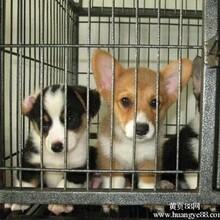 云南卖柯基德宏卖柯基德宏买柯基狗场常年出售纯种柯基