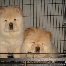 云南卖松狮怒江卖松狮怒江买松狮狗场常年出售纯种松狮