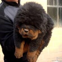 云南玉溪卖藏獒玉溪买藏獒狗场常年出售纯种藏獒小狗
