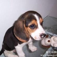 云南卖比格玉溪卖比格玉溪买比格狗场常年出售纯种比格