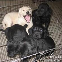 云南卖拉布拉多怒江卖拉布拉多怒江买拉布拉多狗场常年出售纯种拉布拉多