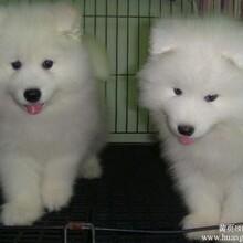 云南卖萨摩耶曲靖卖萨摩耶曲靖买萨摩耶狗场常年出售纯种萨摩耶小狗