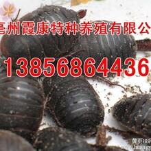 栾川土元养殖技术