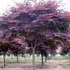 红枫报价:日本红枫、美国红枫、北美枫香树、丛生三角枫、复叶槭