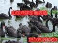 天鹅苗,黑天鹅苗批发价格,黑天鹅养殖图片