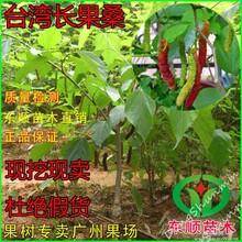 台湾长果桑苗果桑树苗四季桑树苗超级果桑苗正品当年结果
