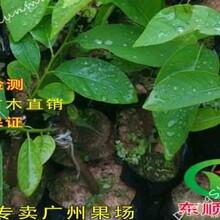 果农直销番荔枝苗、释迦果佛头果正品嫁接苗假一赔十台湾进口