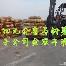 高产量中熟夏波蒂马铃薯种子公司图片