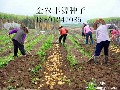一级脱毒早熟土豆种子高产马铃薯价格图片