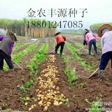 优质土豆种子图片