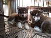 海口卖阿拉斯加海口买阿拉斯加海口养殖场常年出售阿拉斯加犬