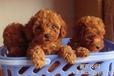 澳门买狗澳门哪里有卖狗的犬场直销纯种泰迪犬