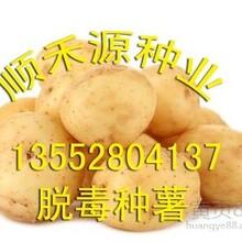 荷兰土豆种子大土豆种子东北土豆种子价格