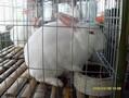 海南大型兔子养殖场种兔养殖哪里最好图片