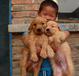 广西买卖纯种金毛犬犬场直销