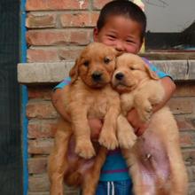 贵州买狗卖狗贵州去哪个地方买狗最好贵州纯种金毛犬价格