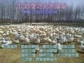 大种鹅苗孵化场图片