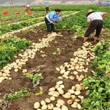 早熟土豆种子供应2016年春季脱毒马铃薯种子品种