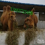 骆驼出售还有矮骆驼矮马价格山东家龙骆驼养殖场图片