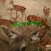 贵州梅花鹿出售华旺梅花鹿养殖场梅花鹿产品图片