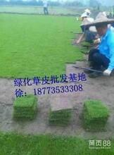 武汉台湾青草-台湾青草图-台湾青草价格