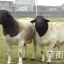 杜泊羊價格2021肉羊市場行情杜泊羊黑頭綿羊發貨方便一只出售圖片