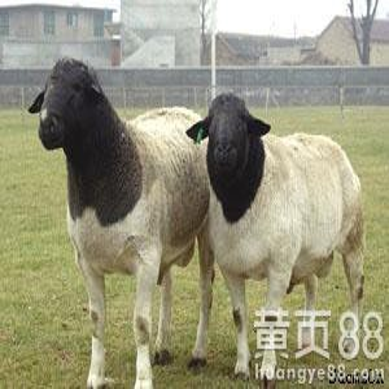 白山羊直销价格波尔山羊多少钱一只黑山羊效益补贴包邮