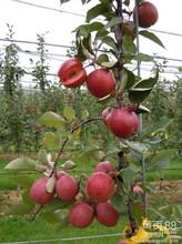 云南哪里有苹果苗丨四川桃树苗矮化树苗丨自己种植自己销售苹果苗