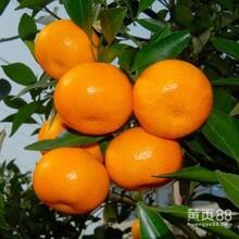 新鲜水果广西柳城南丰蜜桔桔子砂糖桔橘子沙糖桔代办代收购