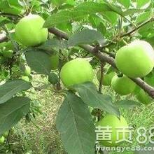 苹果苗今年什么价格?嫁接苹果苗今年什么价格?图片