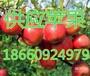 山东红富士价格山东红富士种植基地批发市场