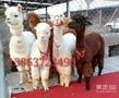 家龙羊驼养殖场价格,羊驼养殖场介绍图片