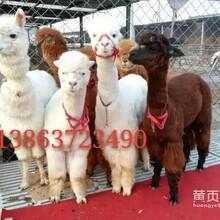 羊驼快讯羊驼养殖出售租赁家龙羊驼养殖租赁公司图片
