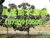 供应米经10公分15公分20公分枣树批发价格
