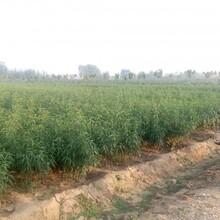 桃树根癌病好防止吗,晚熟桃树苗营销基地,桃树苗如何挖坑定植